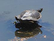 Northern Map Turtle, sunning.jpg