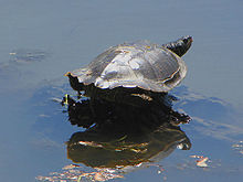 Northern Map Turtle, sunning.jpg