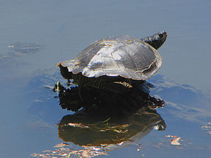 Northern map turtle - Basking on a sunny day