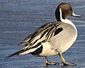 Northern Pintail (12823191695) (cropped).jpg
