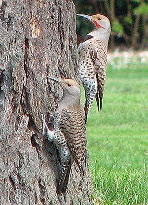Avian clutch size - Red-shafted Northern Flicker: female (left), male (right).