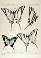 NovaraExpZoologischeTheilLepidopteraAtlasTaf11.jpg
