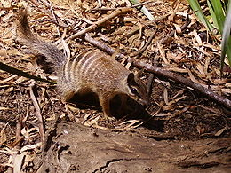 Numbat-Perth-zoo.jpg