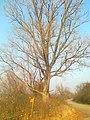 Nyárfa az út mellett - panoramio.jpg