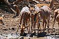 Nyalas (Tragelaphus angasii) female drinking ... (32703538400).jpg