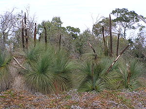 Ocean Grove Nature Reserve - Austral grasstrees in the reserve