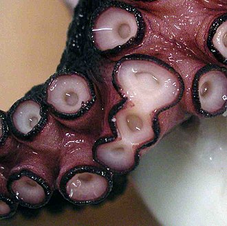 Deformity - A deformed sucker cluster on an arm of an octopus