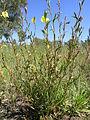 Oenothera stricta plant3 (14520047638).jpg