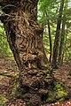 Ogre Tree (8691727430).jpg