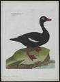 Oidemia fusca - 1790-1796 - Print - Iconographia Zoologica - Special Collections University of Amsterdam - UBA01 IZ17700149.tif