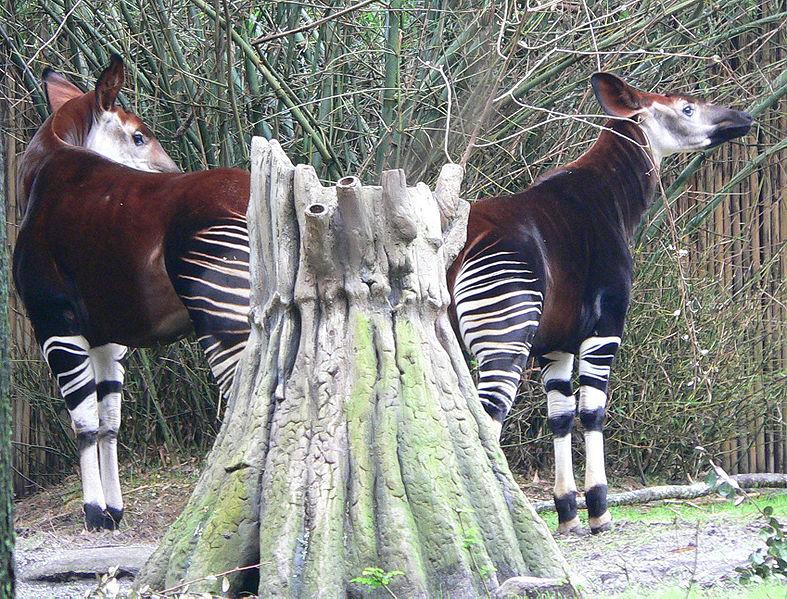 Ficheiro:Okapi1.jpg