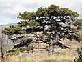 Old Black pine - panoramio.jpg