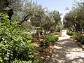 Olive trees in the traditional garden of Gethsemane (6409625959).jpg