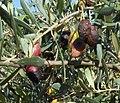 Olives touchées picholines octobre 2014.JPG