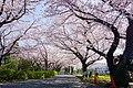 Oneryokudo-Sakura.jpg