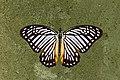 Open wing Basking activity of Graphium xenocles (Doubleday, 1842) – Great Zebra WLB DSC 7449.jpg