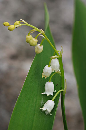 The flowers of Lily-of-the-Valley (Convallaria...
