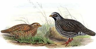 Himalayan quail - Painting by John Gould based on specimens that are now in the Derby museum (male and female on 1 April 1836 in Nainital)