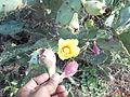 Opuntia ficus-indica (9).JPG