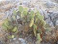 Opuntia sp. (5660561715).jpg