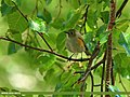 Orange-flanked Bush Robin (Tarsiger cyanurus) (20691717631).jpg