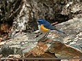 Orange-flanked Bush Robin (Tarsiger cyanurus) (20959122790).jpg