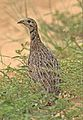 Orange River francolin, Scleroptila levaillantoides, at Khama Rhino Sanctuary, Botswana (31456413893).jpg