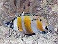 Orangebanded coralfish (Coradion chrysozonus) (32396203327).jpg