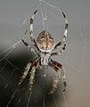 Orb Weaver Spider.jpg