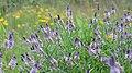 Orbexilum pedunculatum 2.jpg