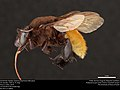 Orchid bee (Apidae, Eulaema polychroma (Mocsáry)) (37260137625).jpg