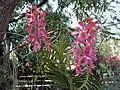 Orchidee réunion01.jpg