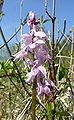 Orchis mascula 030508.jpg
