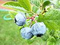 Organic blueberry 2 (2722275620).jpg