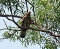 Oriental honey buzzard at Koyna.jpg
