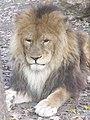 Oroszlán - Lion in the Szeged Zoo - panoramio (1).jpg