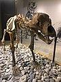 Orso Speleo - Museo di Archeologia e Paleontologia Carlo Conti.jpg