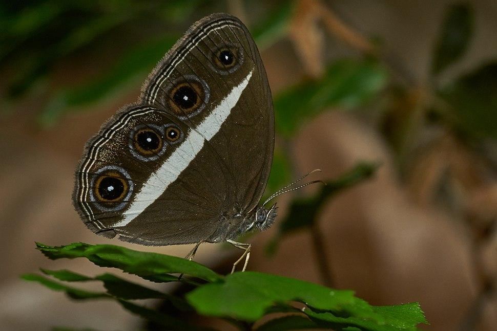 Orsotriaena medus mandata-Kadavoor-2017-04-25-001