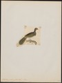 Ortalida poliocephala - 1820-1860 - Print - Iconographia Zoologica - Special Collections University of Amsterdam - UBA01 IZ16900107.tif