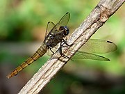 Orthetrum pruinosum female by kadavoor.jpg