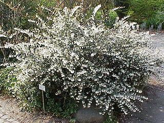 <i>Osmanthus delavayi</i> species of plant