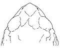 Osornophryne angel female dorsal view - ZooKeys-108-073-g011.jpg