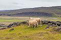 Oveja islandesa, Grábrók, Vesturland, Islandia, 2014-08-15, DD 098.JPG
