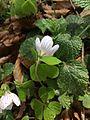 Oxalis acetosella Bremgartenwald 1.JPG