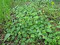 Oxalis corniculata plant5 (14684278206).jpg