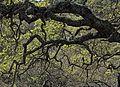 P20140310-0087—Quercus douglasii—Old Briones Road (13205383984).jpg
