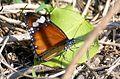 PICT0178 Lombok Island Kuta Danaus Chrysippus Chrysippus female (5404889214).jpg