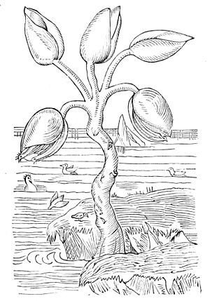 "Goose barnacle - ""The goose-tree"" from Gerard's Herbal (1597), displaying the belief that goose barnacles produced barnacle geese."