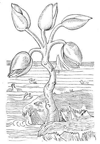 """Goose barnacle - """"The goose-tree"""" from Gerard's Herbal (1597), displaying the belief that goose barnacles produced barnacle geese."""