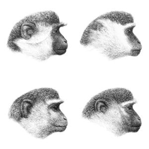 Chlorocebus - Chlorocebus head color patterns Top left: green monkey, top right: grivet Bottom left: malbrouck, bottom right: vervet